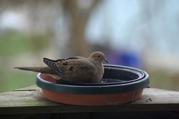 mourning dove in bird bath