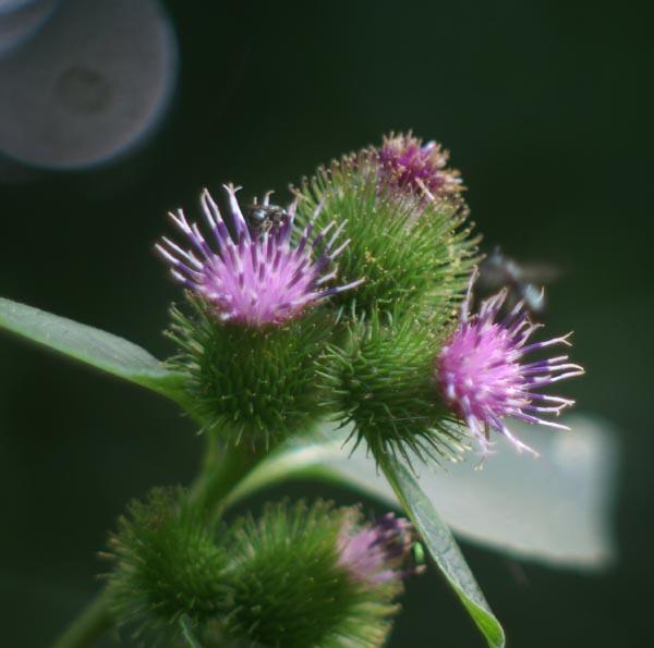 Burdock in Bloom