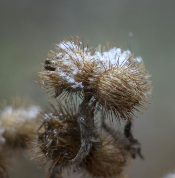 Burdock in Snow