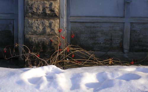 photo of nightshade with red berries in the snow