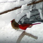 photo of male and female cardinals in the snow