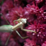 photo of praying mantis on chrysanthemum