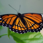 monarch on leaf