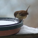 wren looking in water