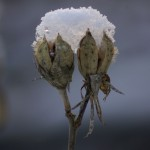 snow piled on rose of sharon pods