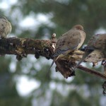 three doves on a branch