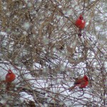 three cardinals in snowy brush