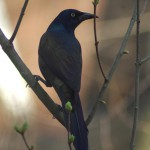 photo of common grackle