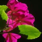 pink impatiens