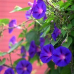 purple morning glories