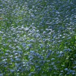 field of forget-me-nots
