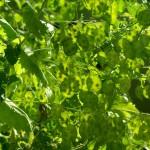 lunaria plants