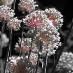 leek flowers