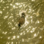 goose on gold water with sparkles
