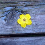 yellow flower on blue bench