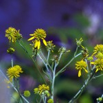 wingstem with blue background