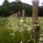 Fence with queen anne's lace