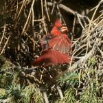 americal cardinal