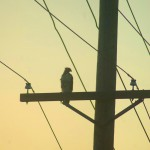 hawk on utility pole
