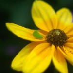 yellow flower with green insect