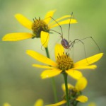 daddy long legs on woodland sunflowers