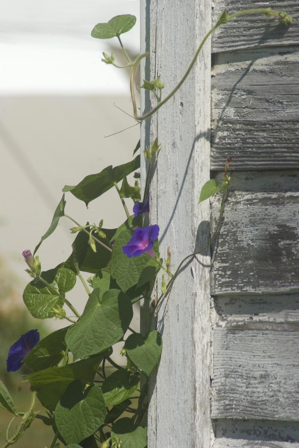 morning glories on white barn