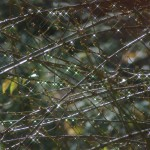 water droplets on branches.