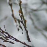 Snow falls on the catkins