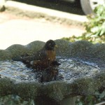 robin and sparrow in bird bath