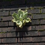 mullein growing in brick wall