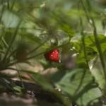 wild straberry