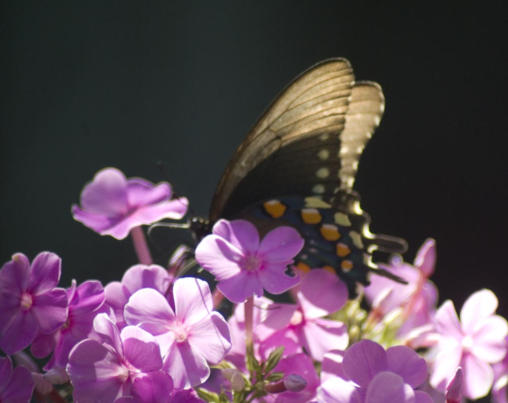 memories of mother, butterfly on phlox