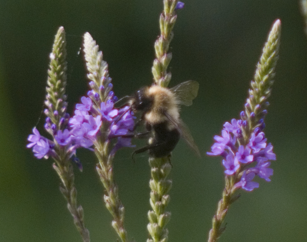 honeybee on blue vervain