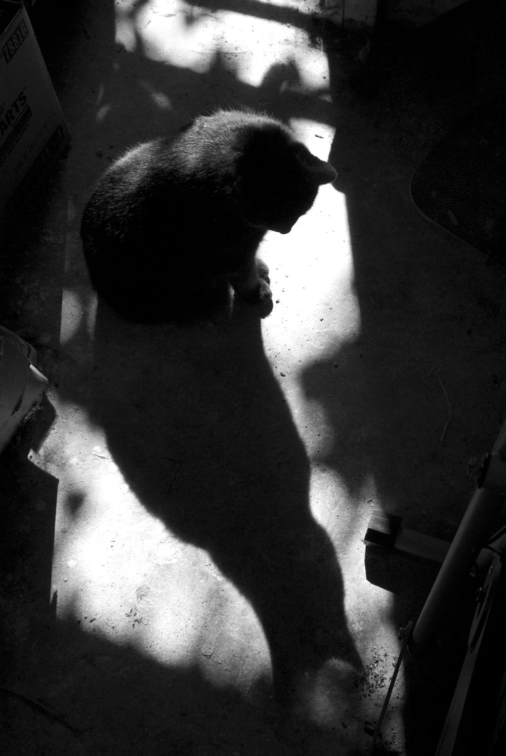 black cat with shadow