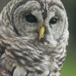 Kele, a barred owl