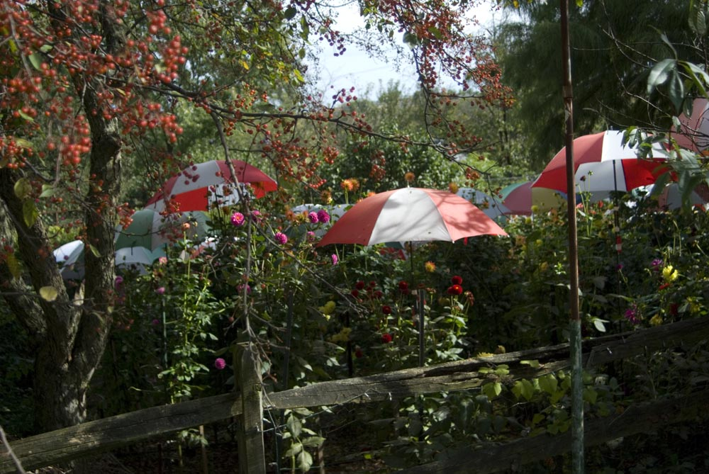 umbrellas and dahlias
