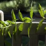 lemon verbena on rocker