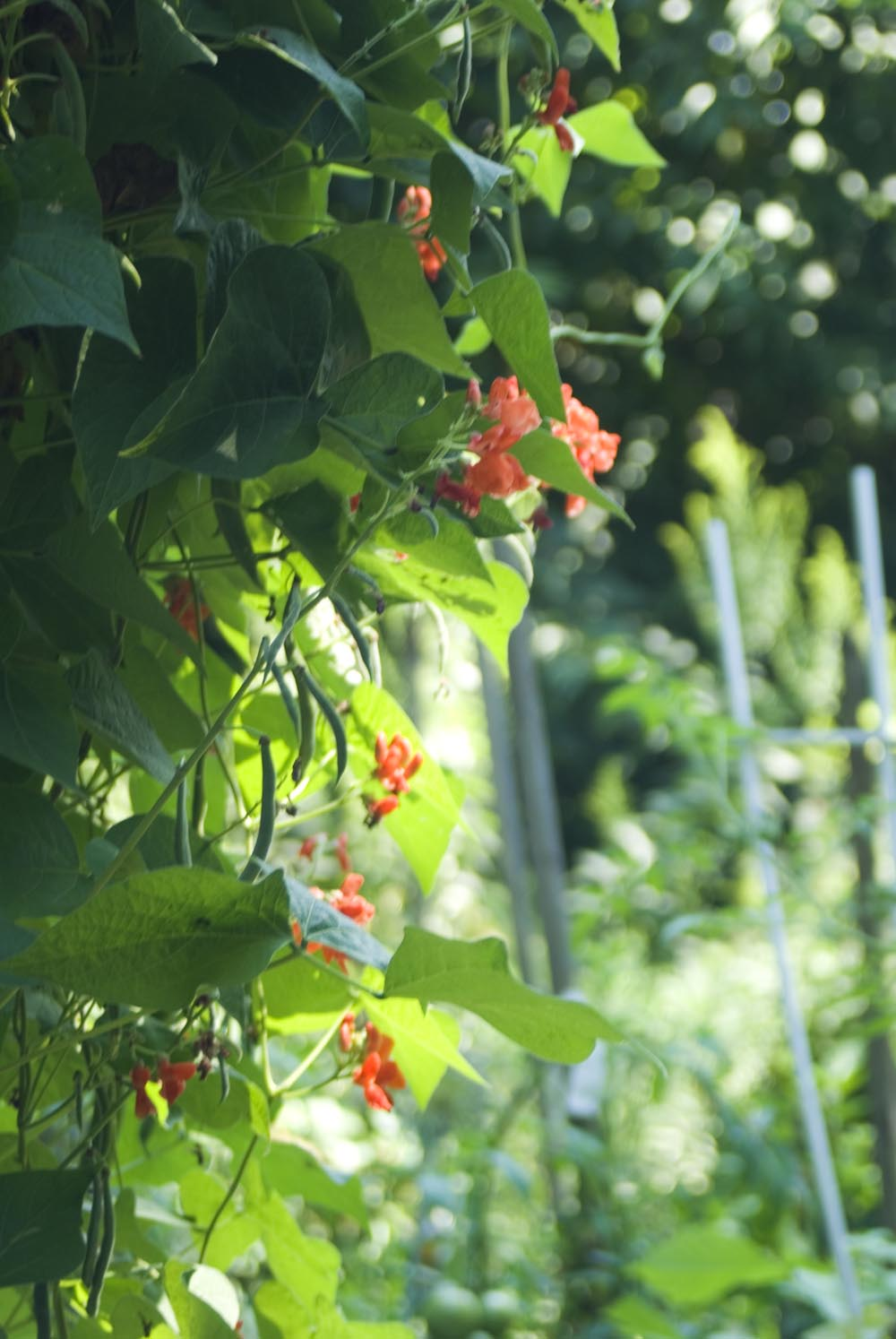 Red Runner Bean Flowers