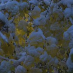 snow on bright yellow leaves