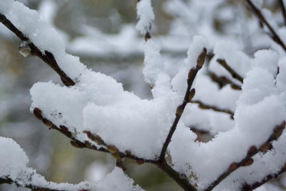 snow on pussy willow