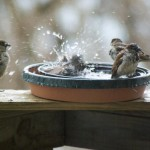 sparrows in bird bath