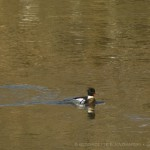 merganser on creek