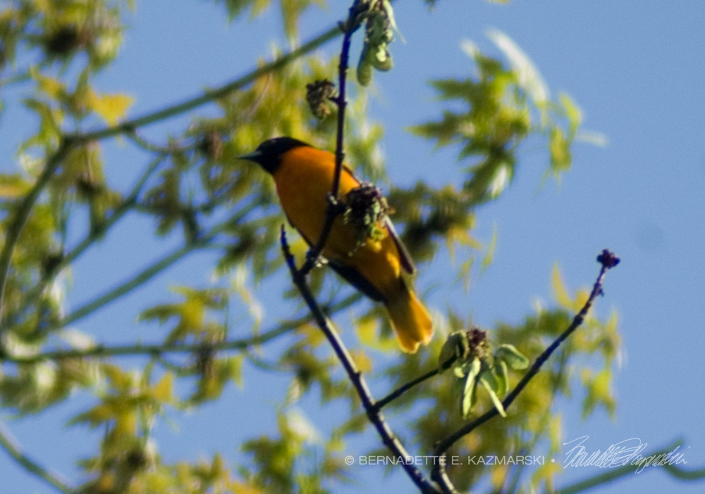 Baltimore Oriole in maple tree
