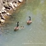 Canada Geese on the creek