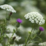 queen anne's lace and thistle
