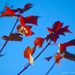red leaves blue sky