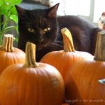 black cat with pumpkins