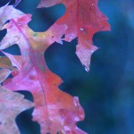 scarlet oak leaves in rain