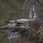 photo of milkweed pods