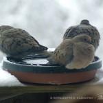 three doves on birdbath